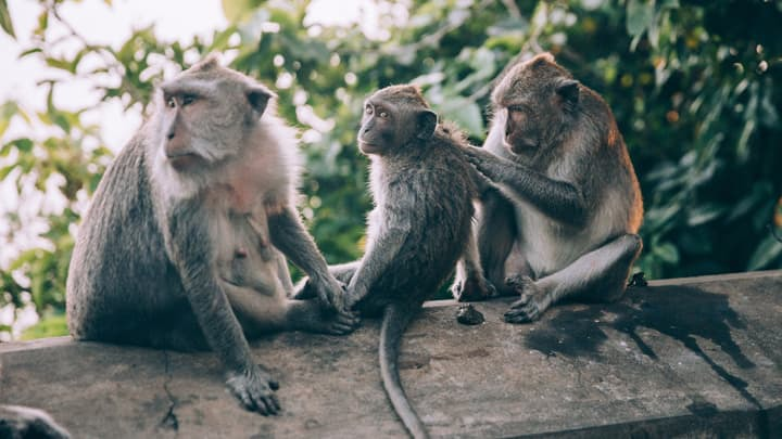 three monkeys on a wall grooming each other